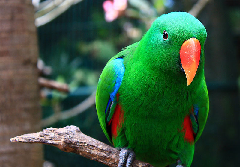 Male Eclectus