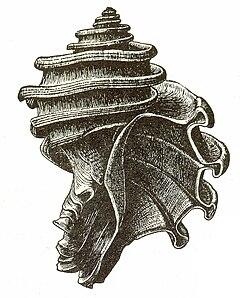 Maryland's State Fossil, Ecphora gardnerae gardnerae