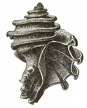 Ecphora gardnerae - Image: Ecphora gardnerae