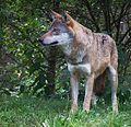 Eingeklemmte Rute Eurasischer Wolf Tiergarten Worms.JPG