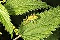 Elasmostethus interstinctus (36199501640).jpg