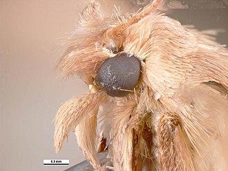 Eldana - Close-up of the head