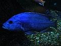 Electric Blue Cichlid (177043686).jpg