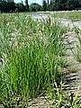 Eleocharis mamillata subsp. mamillata sl44.jpg