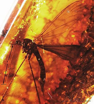 Elephantomyia - E. (E.) brevipalpa female
