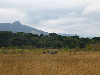 Lopé National Park - A group of Forest elephants in the savannah of Lopé National Park.