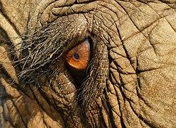 Asiatisk Elefant Wikipedia