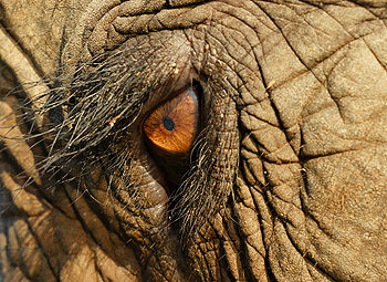 Elephas Maximus Eye Closeup cropped.jpg