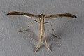 Emmelina monodactyla 1330.jpg