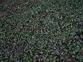English Ivy Lawn.JPG