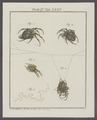 Epeira - Print - Iconographia Zoologica - Special Collections University of Amsterdam - UBAINV0274 068 02 0018A.tif