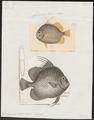 Ephippus orbis - 1700-1880 - Print - Iconographia Zoologica - Special Collections University of Amsterdam - UBA01 IZ13100287.tif
