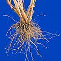 Eragrostis cilianensis UGA1459678.jpg