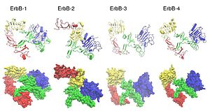 ErbB - Comparison of ErbB extracellular domain structures