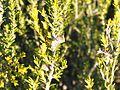 Eremaea pauciflora (fruit).jpg