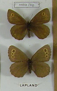 Lapland ringlet species of insect