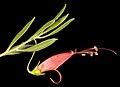 Eremophila decipiens subsp. decipiens - Flickr - Kevin Thiele.jpg