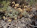 Eriogonum caespitosum (5036269671).jpg