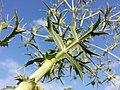 Eryngium campestre sl25.jpg