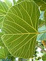 Erythrina latissima, blaarondersy, b, Uniegeboutuine.jpg
