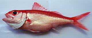 <i>Etelis</i> genus of fishes