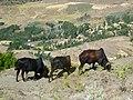 Ethiopian countryside near Lalibela - cattle (2).jpg