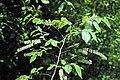 Eubotrys racemosa.jpg
