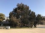 Eucalyptus in Hiroshima Castle.jpg