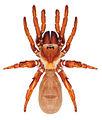 Eucteniza relata female.jpg