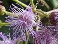 Eupatorium atrorubens (Compositae) flower zoom.jpg