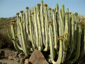 Euphorbia canariensis.png