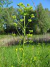 Euphorbia esula habitus 2006.jpeg