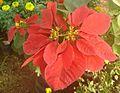 Euphorbia pulcherrima flowers.JPG