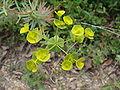 Euphorbia sp.001 - Serra de Enciña de Lastra.JPG