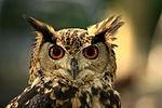 Eurasian Eagle-Owl Maurice van Bruggen.JPG