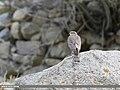 Eurasian Sparrowhawk (Accipiter nisus) (46527000502).jpg