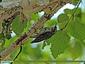 Eurasian Treecreeper (Certhia familiaris) (15715625708).jpg