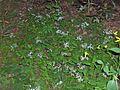 Eurybia divaricata (homeredwardprice) 002.jpg