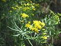 Euthamia caroliniana.jpg