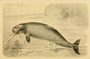 Extinct Monsters (1893) Sea Cow.png