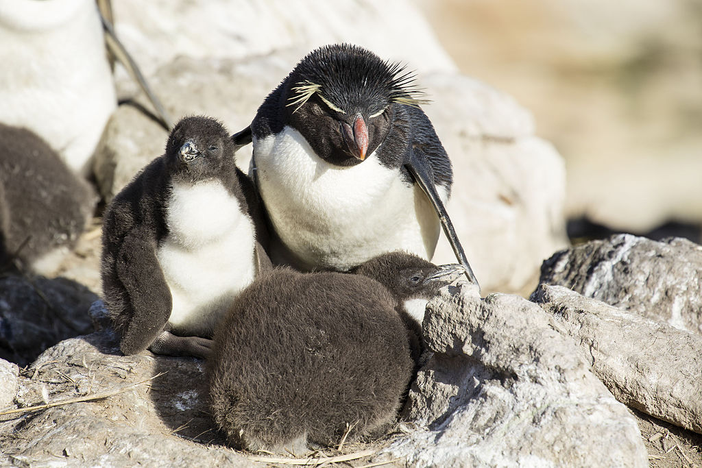 FAL-2016-New Island, Falkland Islands-Rockhopper penguin (Eudyptes chrysocome) 02