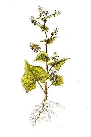 Fagopyrum tataricum - Image: Fagopyrum tataricum Kops