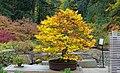 Fagus sylvatica - Portland Japanese Garden - Portland, Oregon - DSC08164.jpg