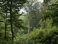 Fagus sylvatica forest Rocherath Belgium.jpg