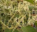 Fallopia japonica 11 ies.jpg