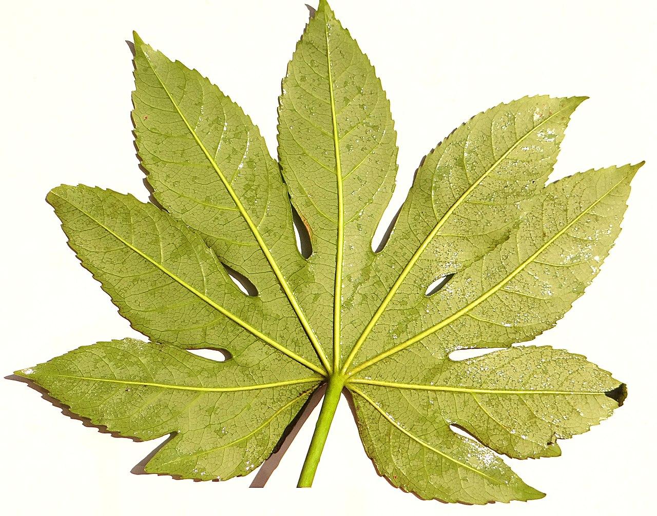 File:Fatsia japonica leaf planar back.JPG