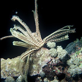 Feather Star (Lamprometra palmata).jpg