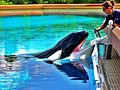 Feeding orca in MarineLand - panoramio.jpg