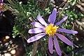 Felicia brevifolia Warren 1.jpg