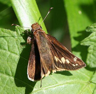 Zabulon skipper - Upperside of the female